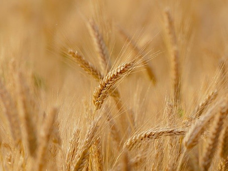 Weather Wreaks Havoc On Local Area Crops