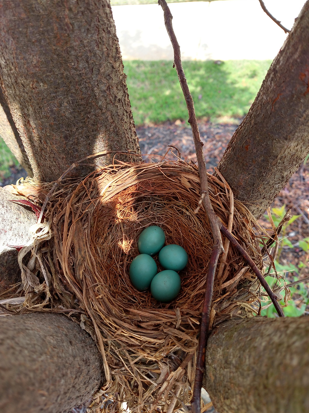 A sweet spring Robin's Nest