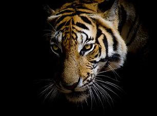 close up face tiger isolated on black ba