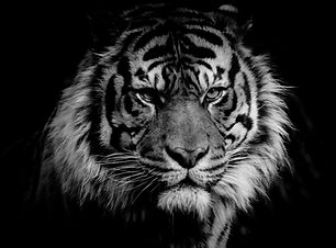 ferocious Sumatran Tiger_edited.jpg