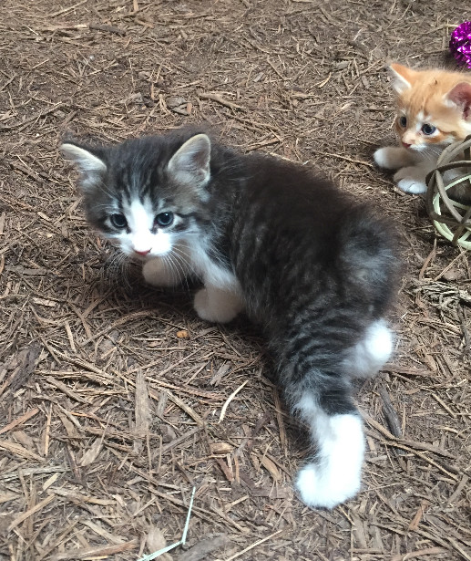 Tuning Fork Ranch Manx Kittens For Sale Texas