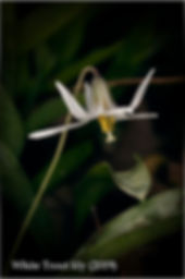Will Fritsch.White Trout Lily.2019