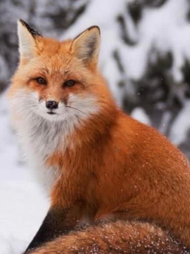 Park national d'Oka/Oka National Park (Quebec) Canada Le renard roux est un animal timide, craintif, discret et de tempérament nerveux mais il suffit de bien regarder et il est là juste sous nos yeux.
