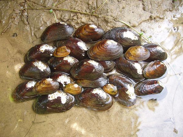 Spinymussel.jpg