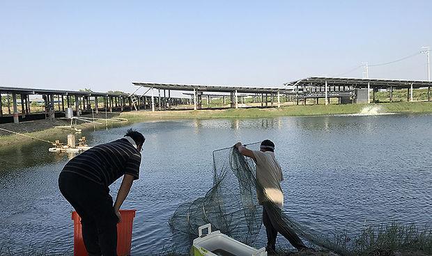 漁電共生場域捕蝦