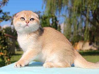 Mèo Tai Cụp  - SCOTTISH