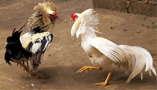 Chọn giống gà chọi hay nhất 2021 bí quyết của sư kê lâu năm
