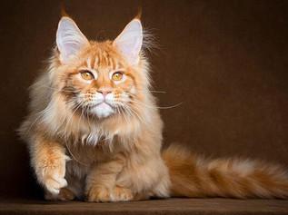 Mèo Maine Coon - Mèo lông dài Mỹ