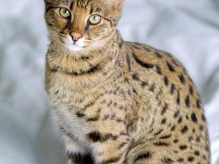 Mèo Savanah - Giống Mèo Linh Miêu lai