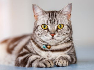 Mèo Mỹ lông ngắn - American Shorthair