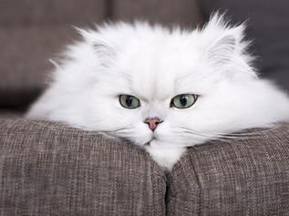 Mèo Ba Tư - Persian cat