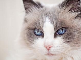 Mèo Ragdoll – Giống mèo tuyệt đẹp nhiều người chưa biết
