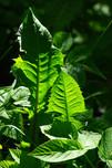 dandelion leaves-Hans-pixabay