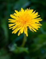 dandelion- yellow- ernschie -pixabay