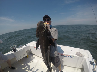 Jumbo Cobia Sight fishing on the Chesapeake Bay in Virginia! #SaltTreatedFishing