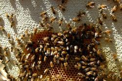 Freshly capped honey