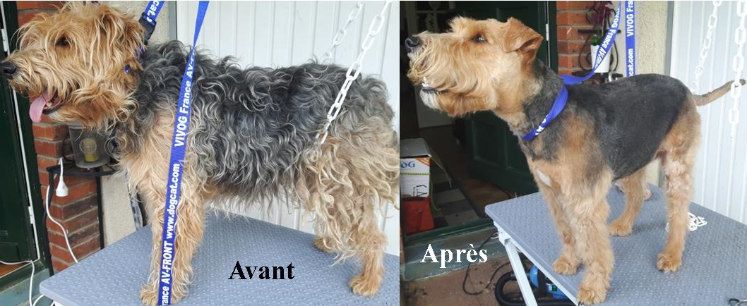 Canisweet-Morgane Welch Terrier (2)