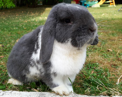 Canisweet - lapin nain belier