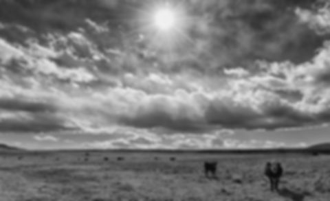 cows_and_clouds_bw.jpg