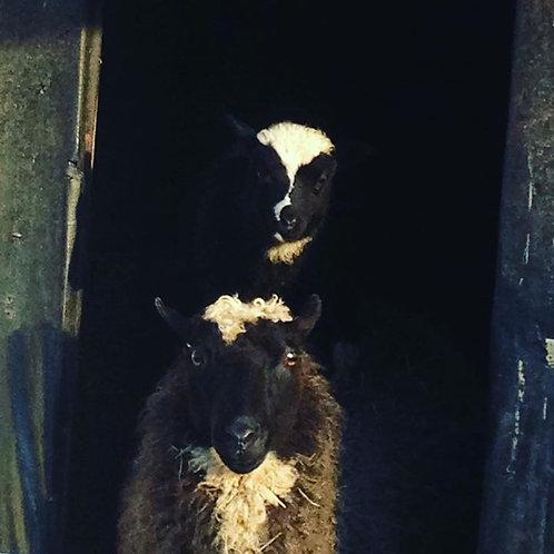 Sponsor A Sheep - 6 months