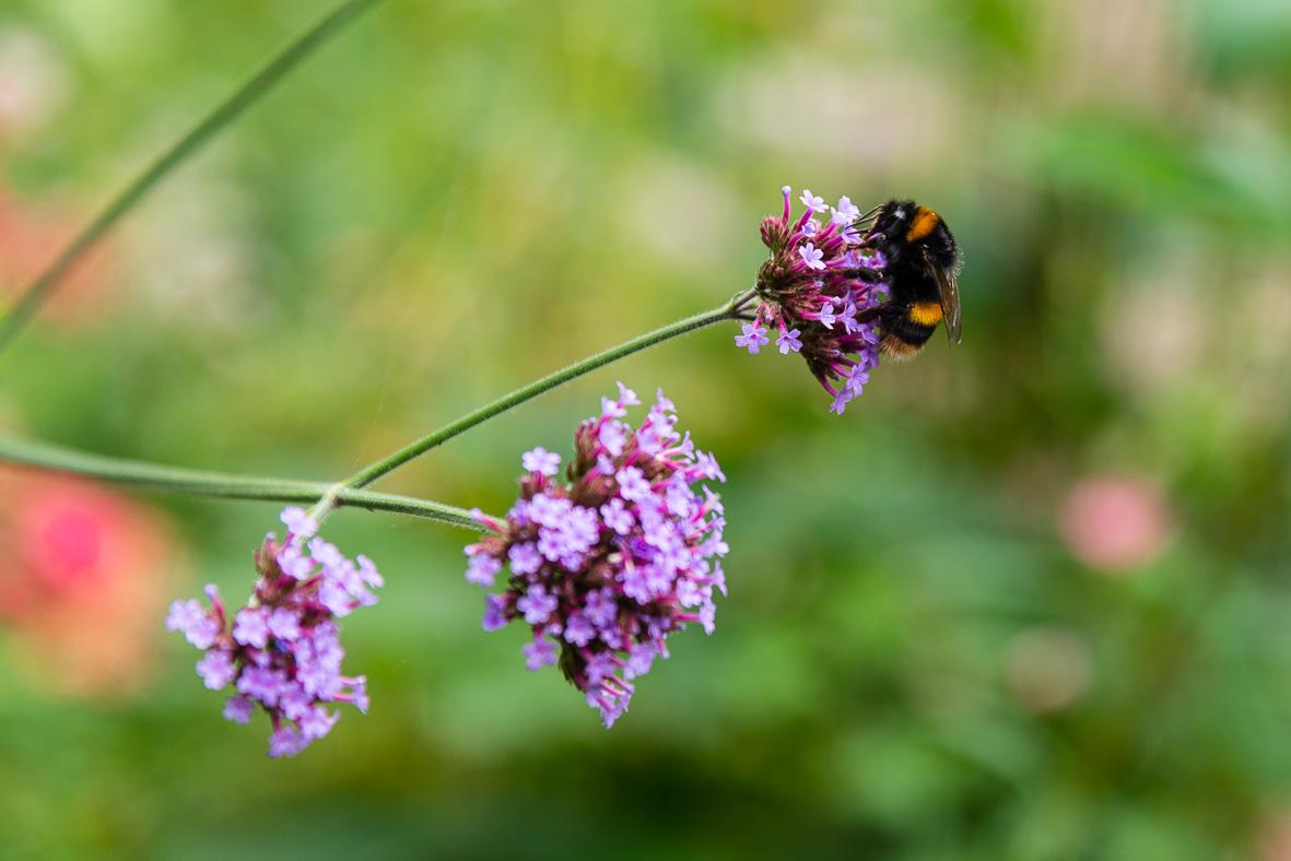 190802-299 Bee on flower