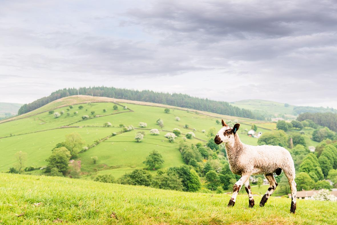 180531-608 Lamb walking along top
