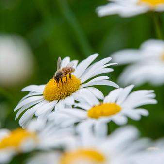 Bee on a daisy, macro