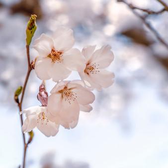 Cherry Blossom, Korea