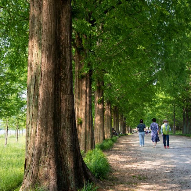 Damyang Metasequoia Path