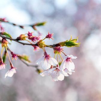 Cherry Blossom macro, Korea
