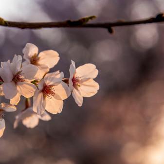 Cherry Blossom Flower at sunset