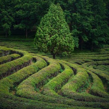 Boseong Tea Fields