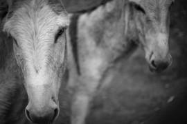 burros bn.jpg