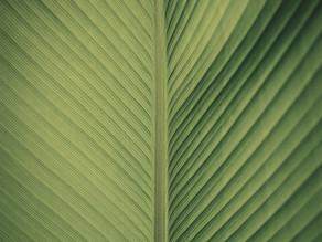 Monocotiledônea X Eudicotiledônea