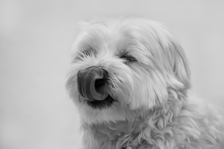 Fotografia canina Bichón Maltés