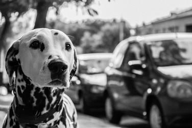 Fotografía de Perros, Dalmatian