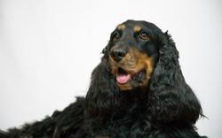 Fotografia canina estudio Cocker