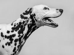 Fotografia canina estudio Dálmata