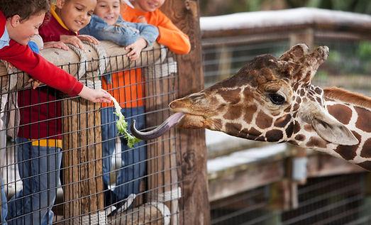 Nourrir une girafe