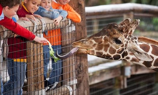 Zuführen einer Giraffe
