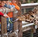 Fodring en giraf