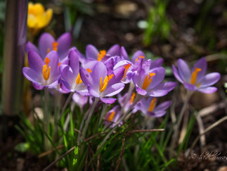 Der Frühling naht.....                                   ...... und die Landtagswahl ist auch in Rhe