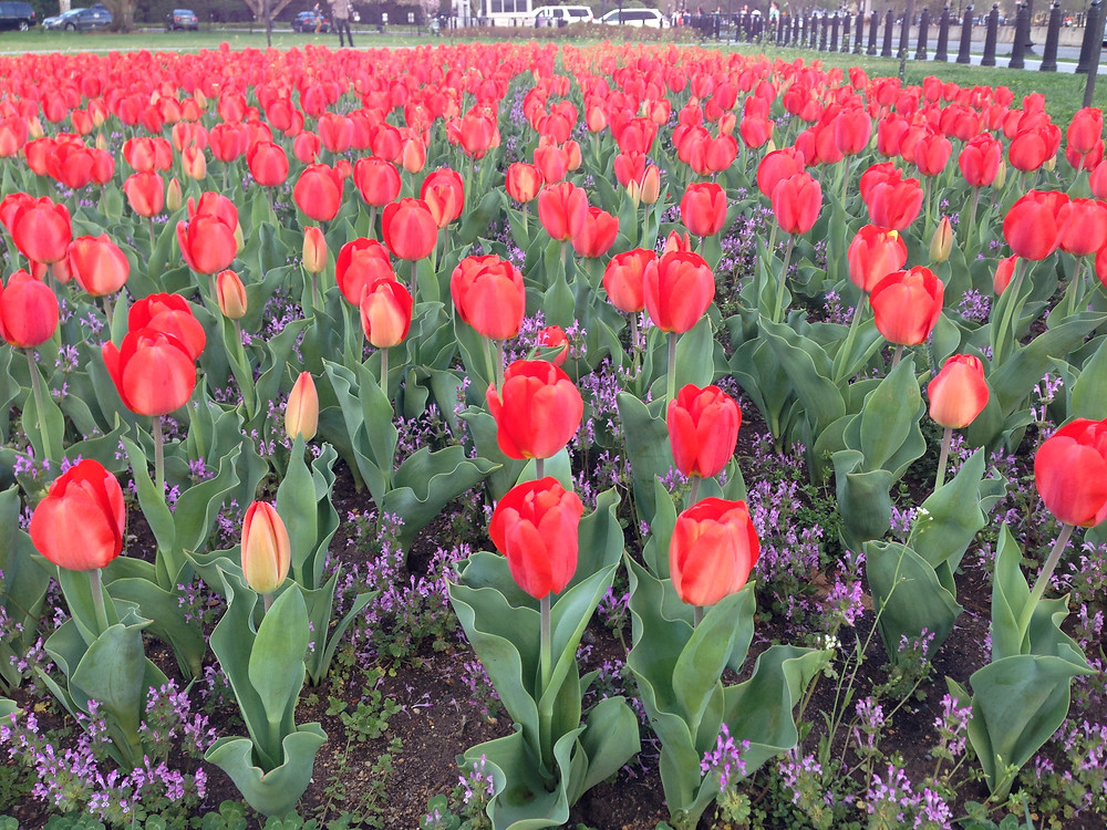 Tulips in D.C.