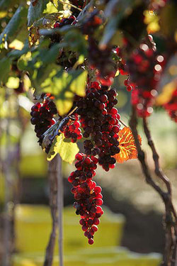 ripe red grapes hanging on vine
