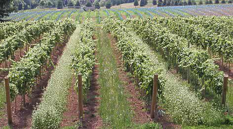 vineyard rows in spring