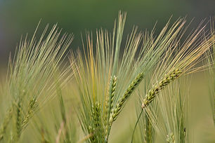 closeup-shot-of-triticale-plants.jpg