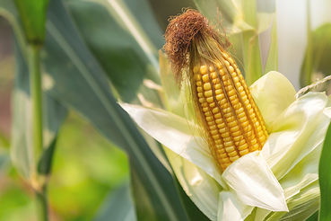 corn-on-the-stalk-ready-to-harvest-in-th