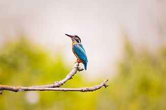 kingfisher-2363879_1920.jpg