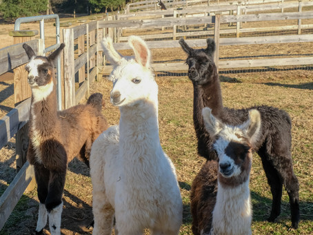 Hanging out with the llamas