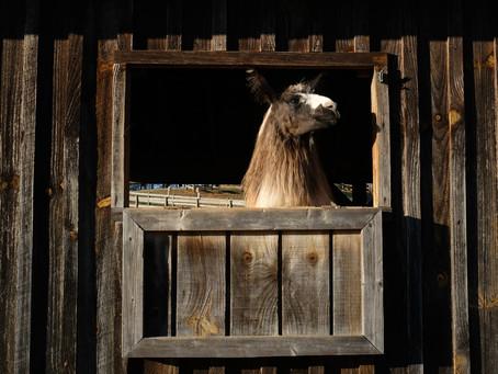 Llama at the window